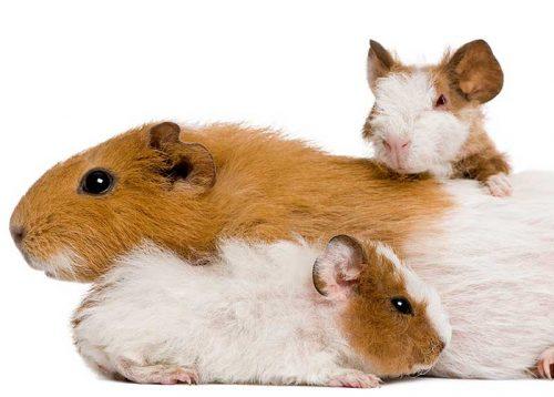 Nachwachsen können meerschweinchen zähne Wie Viele